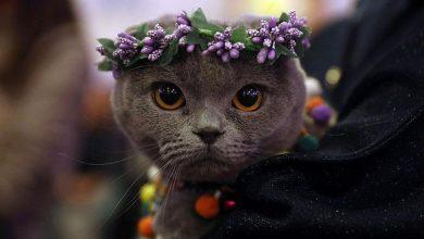 فستیوال گربه های زیبا
