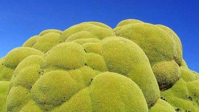 گیاه همیشه سبز