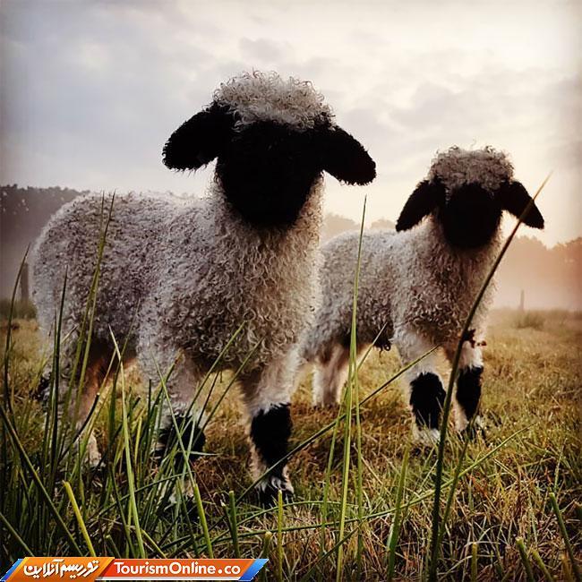 گوسفند دماغ سیاه وله