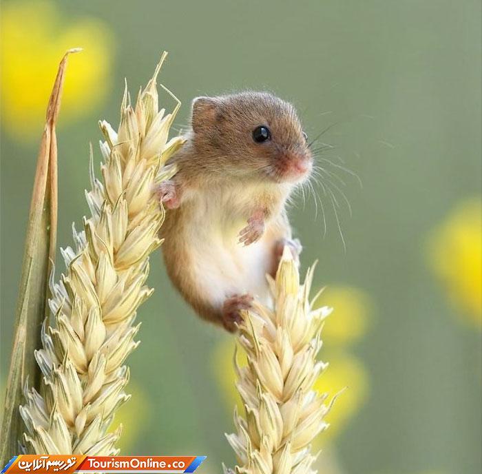 موش خرمن