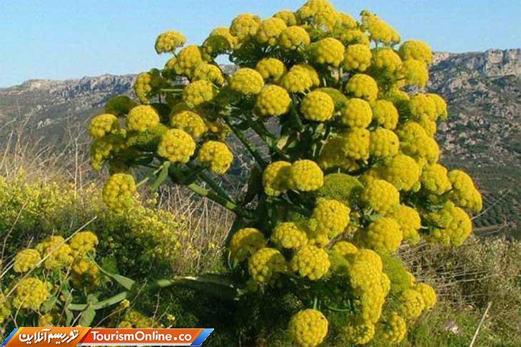 گیاه باریجه
