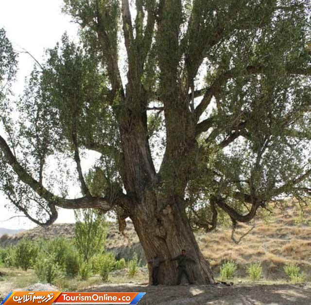 درخت کهنسال صنوبر