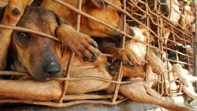 سگ کشی در ویتنام