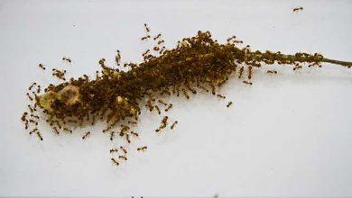 مارمولک و مورچهها