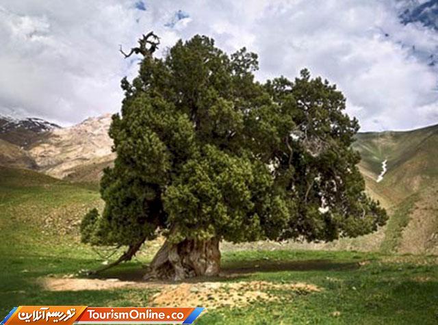 درخت کهنسال شهرستانک