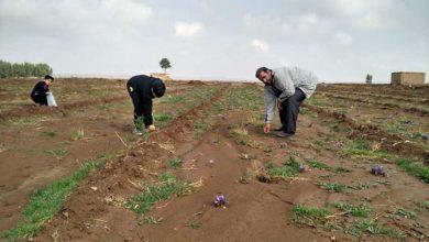 مزارع زعفران قم
