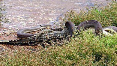تمساح و مار