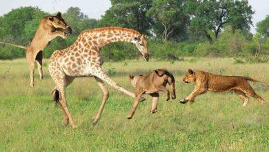 حمله شیر به زرافه