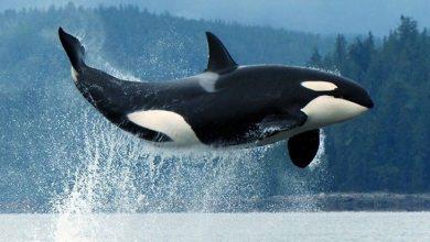 اسکلت نهنگ
