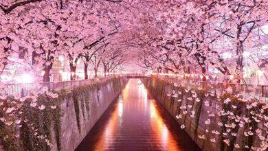 بهارنارنج ژاپنی