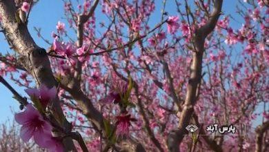 شکوفه های درختان میوه مغان