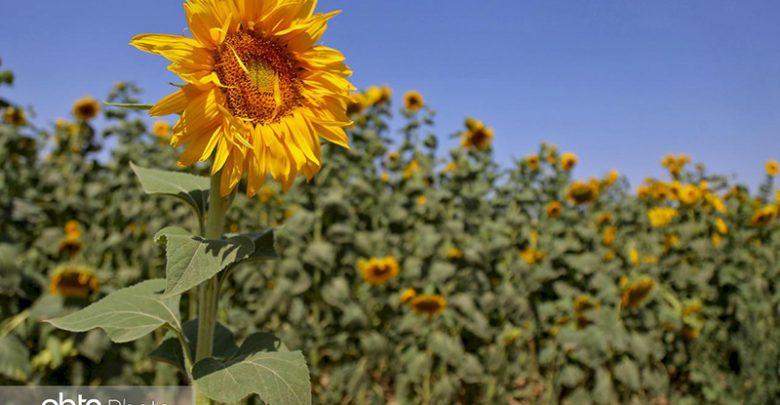 مزارع آفتابگردان خراسان شمالی